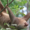 Sloth hanging from the tree in costa rica